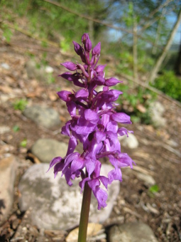 orchis_mascula_flower_lores