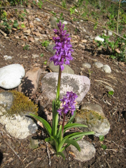 orchis_mascula_plant_lores