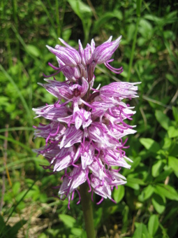 orchis_simia_flower_lores