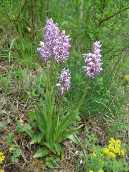 orchis_simia_plant_lores